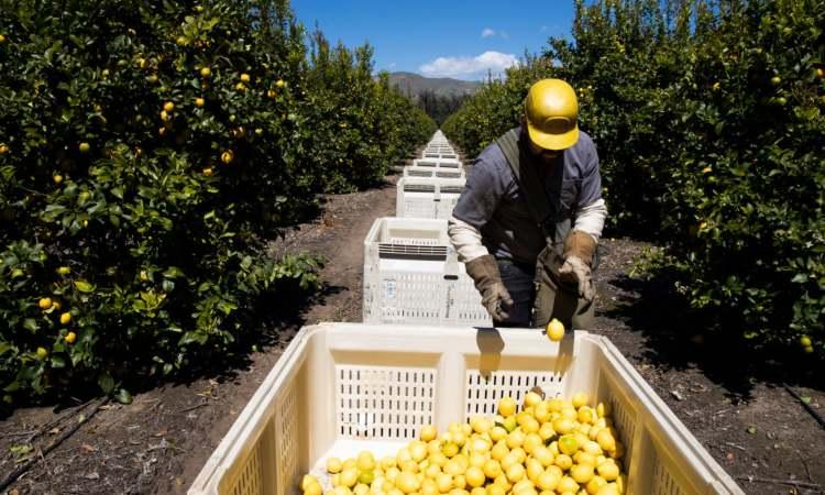 Agricoltore raccoglie limoni