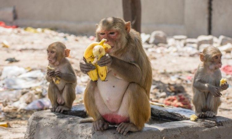 Una scimmia e due cuccioli mangiano una banana